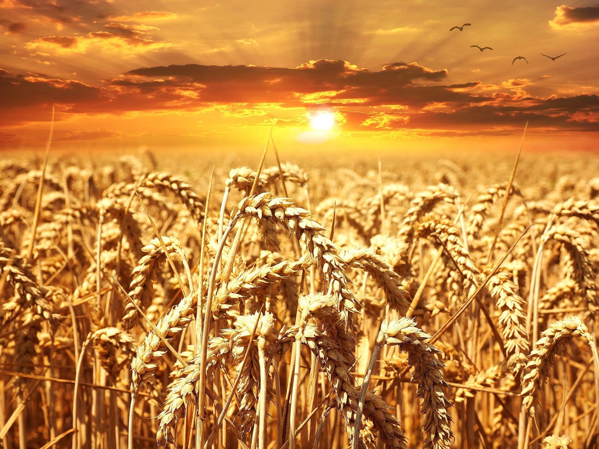 wheat-field-640960_1920.jpg